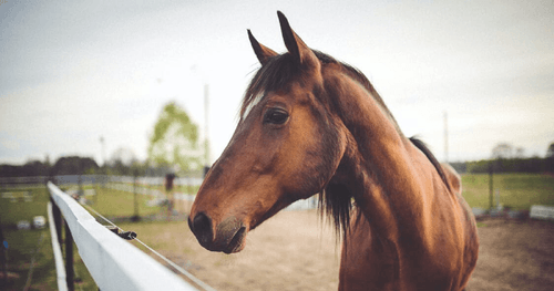 Understanding the Gaited Horse